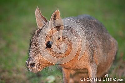 Mara rodent