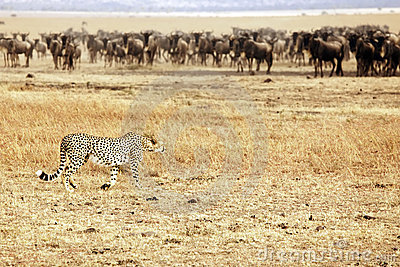 Mara van Masai Jachtluipaard die Wildebeest besluipt