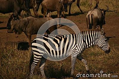 Mara zebra