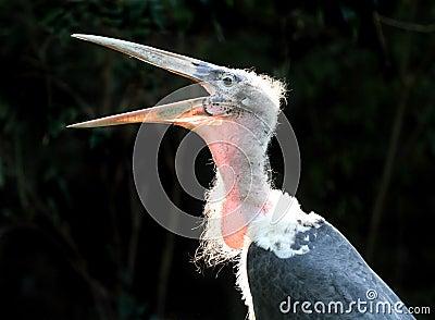 Marabou bird