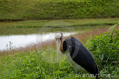 Marabou. Borneo
