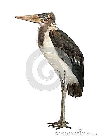 Free Marabou Stork, Leptoptilos Crumeniferus Stock Image - 24991441