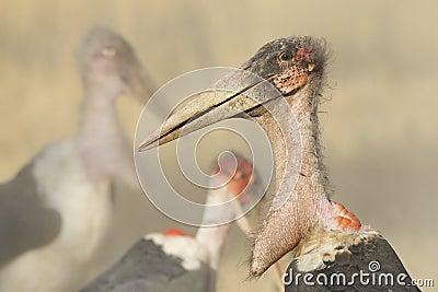 Marabou Stork (Leptoptilos crumeniferus), South Africa