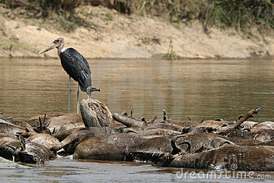 Marabou stork and vulture on drowned wildebeest