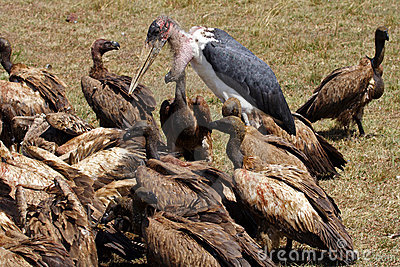 Marabou stork with vultures on a zebra carcase