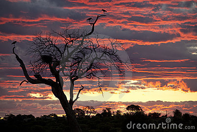 Marabou Storks at sunset - Botswana