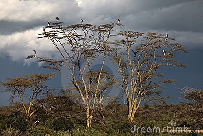 Marabou Storks on a tree at sunset
