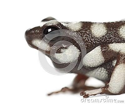 Marañón Poison Frog or Rana Venenosa