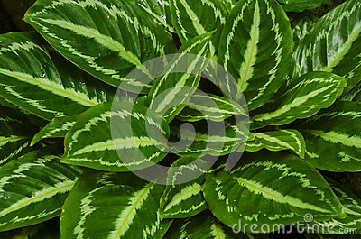 Maranta leaves background