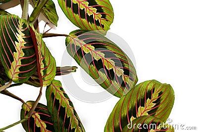 Maranta tricolor