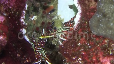 Marble shrimp Galapagos islands stock footage