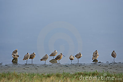 Marbled godwits shorebirds tokeland marina