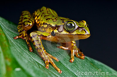 Marbled tree-frog