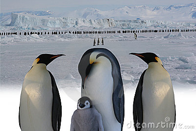 March of emperor penguins