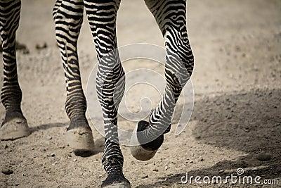 [Terminé] Centaure Marche-de-pattes-de-zbre-11233774