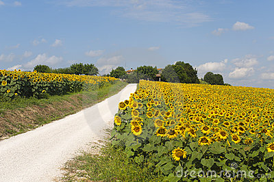 Marches (Italy) - Country road and sunflowers