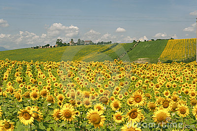 Marches (Italy) - Landscape with sunflowers