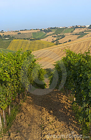 Marches (Italy) - Vineyards