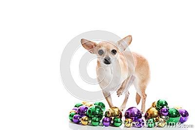 Mardi Gras Chihuahua