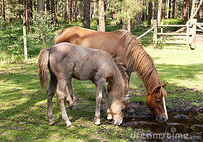Mare and foal drinking
