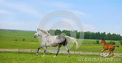Mare and foal runs gallop in pasture