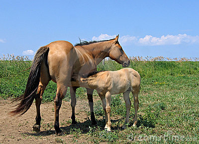 Mare letting her foal nurse