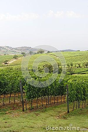 Maremma (Tuscany), vineyard