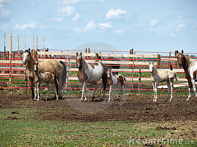 Mares and colts.