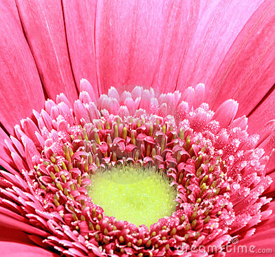 Margarida do Gerbera