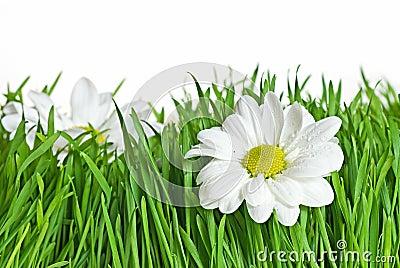 Margarida na grama verde