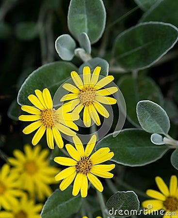 Margaridas amarelas