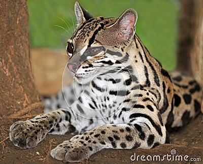 Margay cat or Caucel ,feline reserve, nicaragua,
