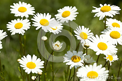 Marguerite Royalty Free Stock Photos - Image: 24979168