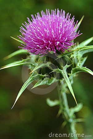 Free Marian Thistle Royalty Free Stock Images - 874169