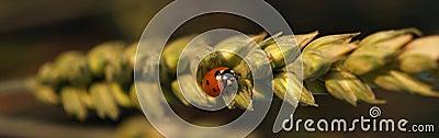 Marienkäfer auf Weizen