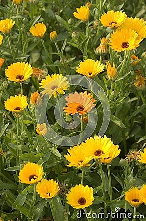 Free Marigold Royalty Free Stock Photography - 1510747