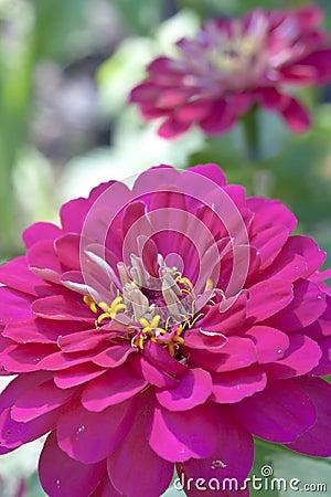 Marigold close up