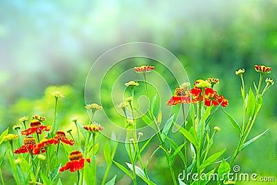 Marigold field close up