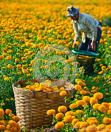 Free Marigold Field In Thailand Royalty Free Stock Image - 37790776