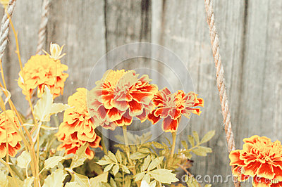 Marigold flower background