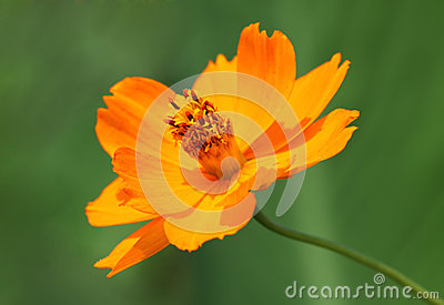Marigold flower over green