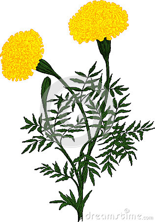 Yellow Marigold flower. Vector