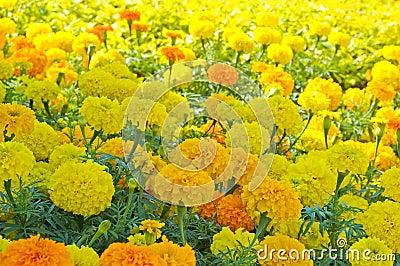 Marigold Flowerbed 2