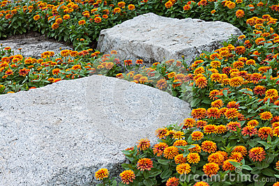 Marigold yellow and rock background .