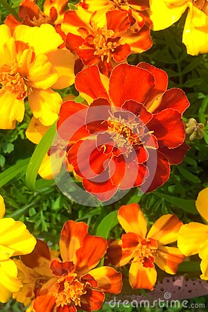 Free Marigolds Royalty Free Stock Image - 93569016