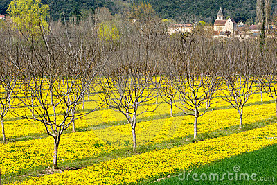 Marigolds and walnut trees