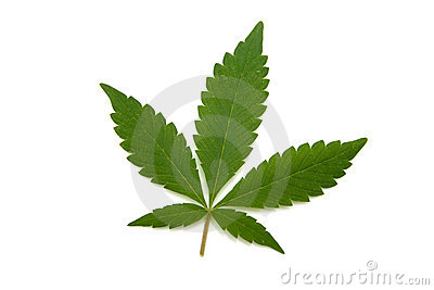 Marijuana or cannabis leaf.