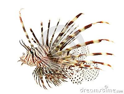 Marine fish, lion fish isolated on white backgroun