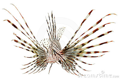 Marine fish, lion fish isolated on white backgroun