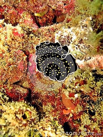 Free Marine Flatworm Stock Photo - 2304190